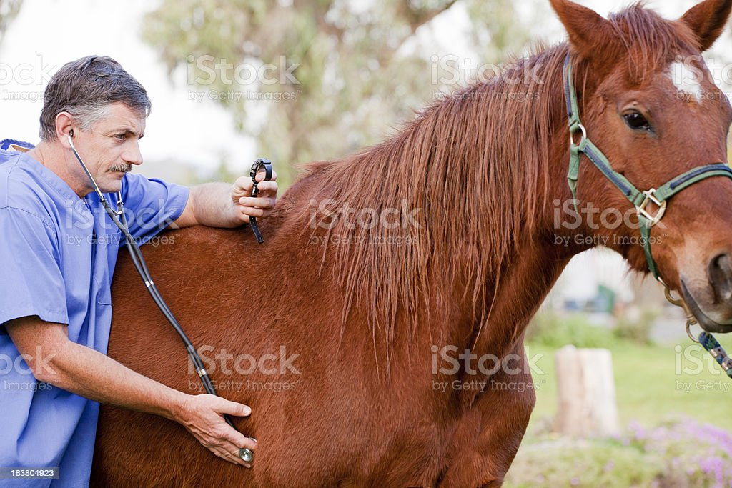 Veterinarian examining the horse royalty-free stock photo