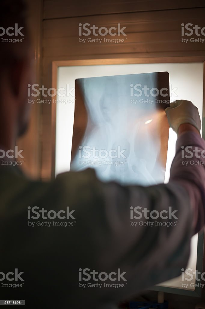 Veterinarian examining x-rays in office stock photo