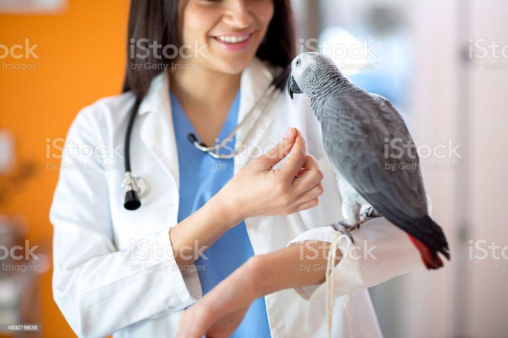 Veterinarian feeding African gray parrot stock photo