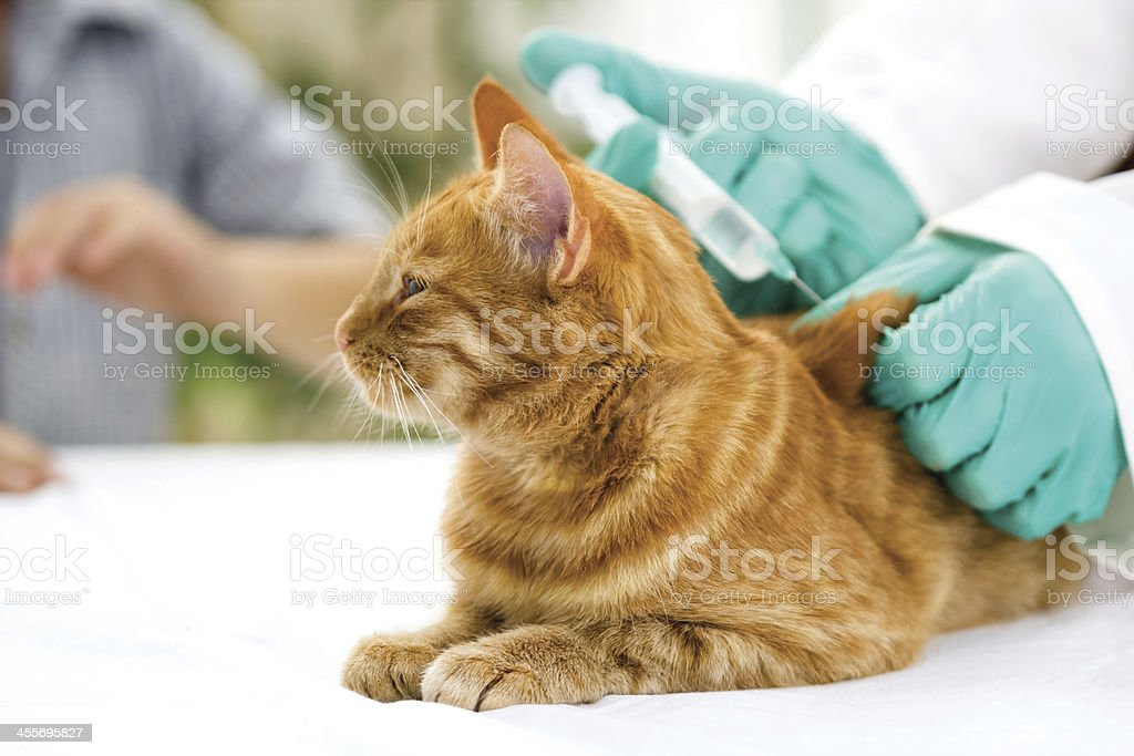 Veterinarian giving injection to a little cat royalty-free stock photo