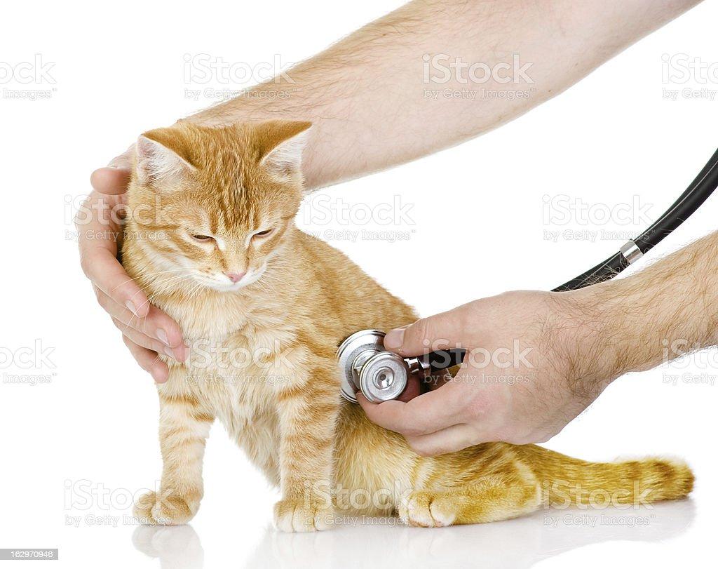 Veterinarian hand examining a cat royalty-free stock photo