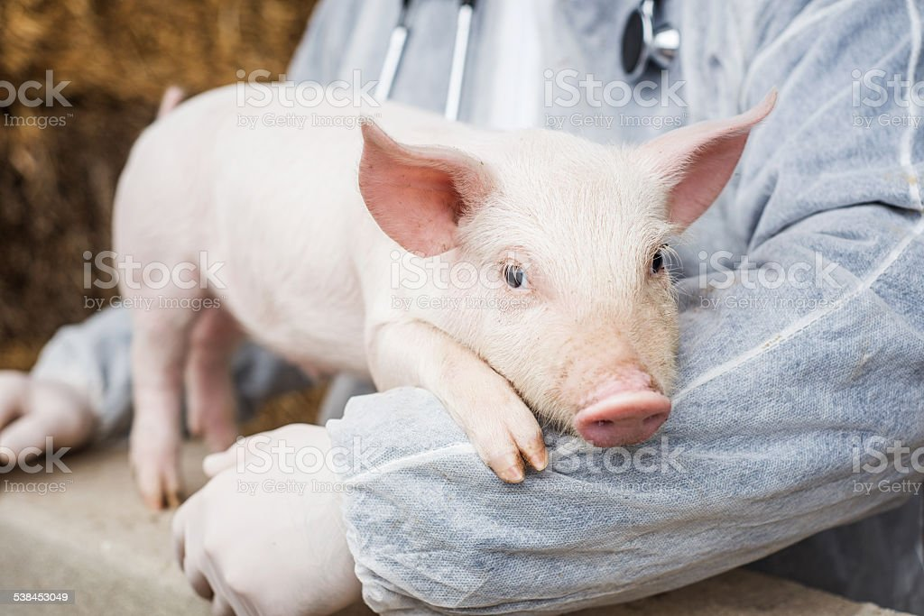 Veterinarian holding a pig. stock photo