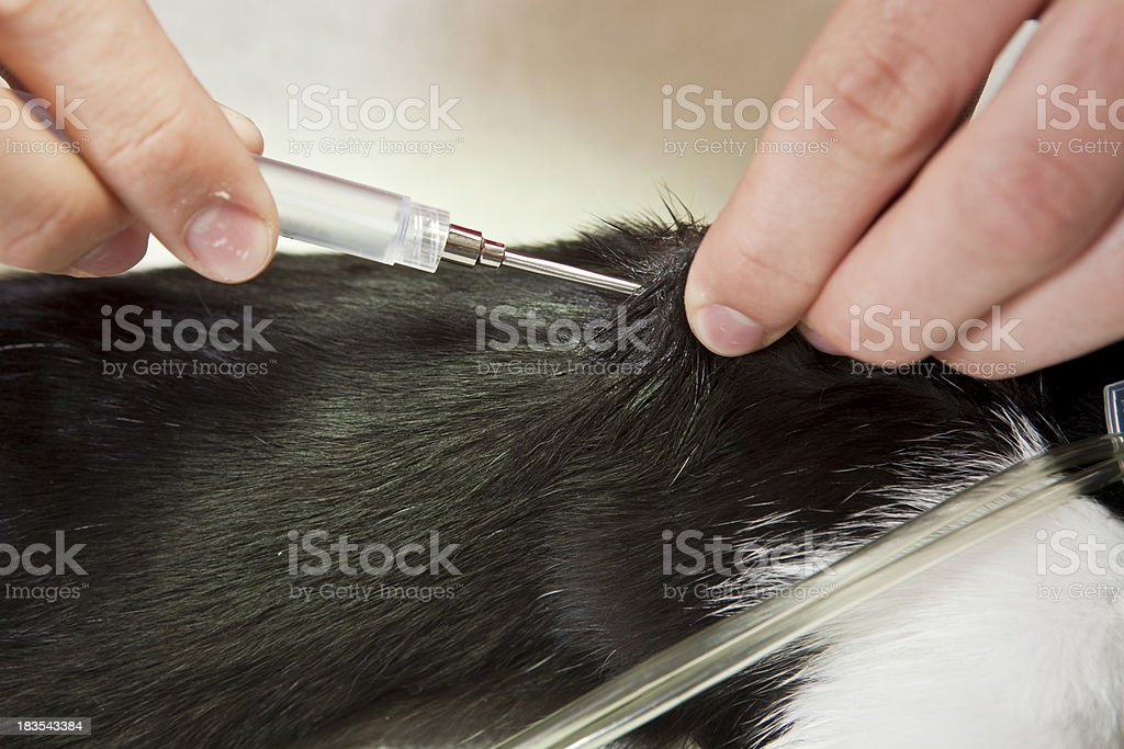 Veterinarian Injects Microchip Into Cat royalty-free stock photo