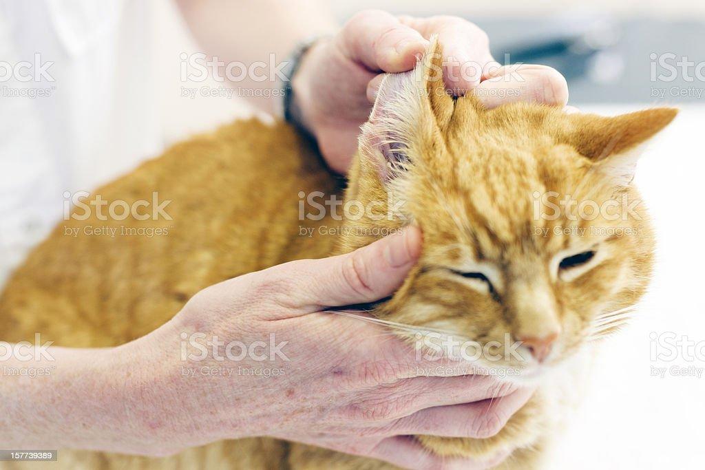 Veterinarian inspecting cats ear royalty-free stock photo