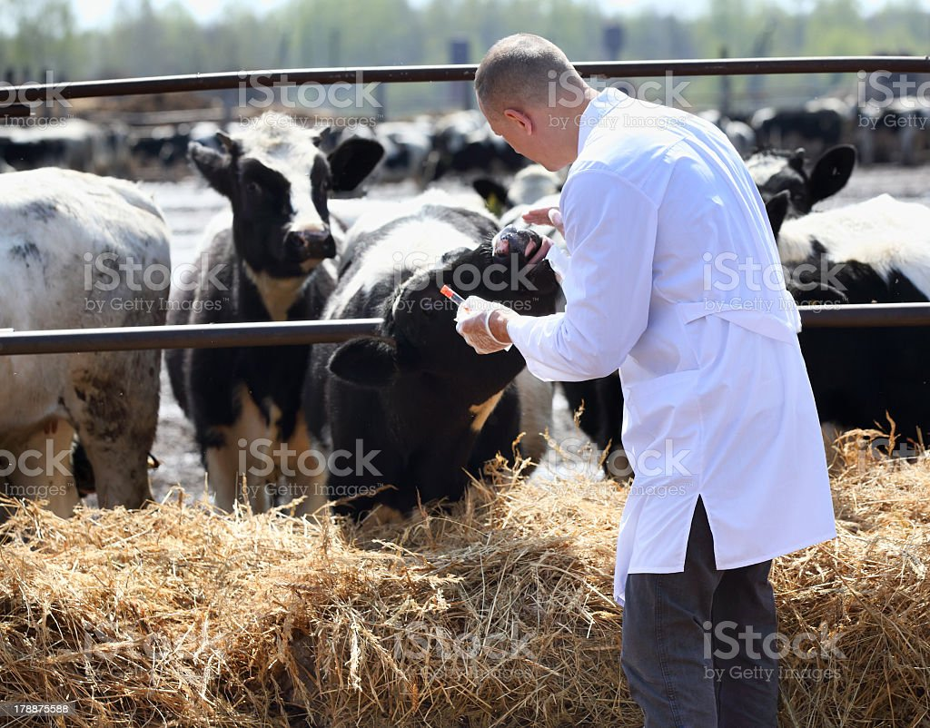 A veterinarian inspecting cows at a farm royalty-free stock photo
