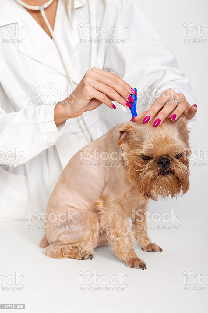 Veterinarian looking at a dog for ticks stock photo