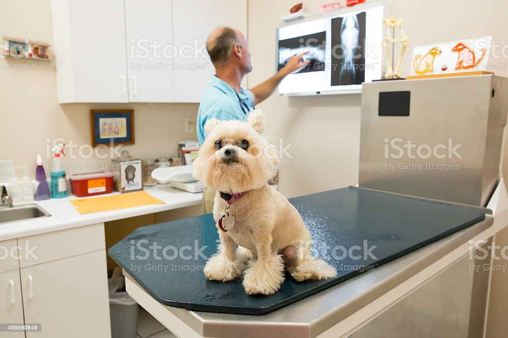 Veterinarian looking at a small dogs x-ray royalty-free stock photo