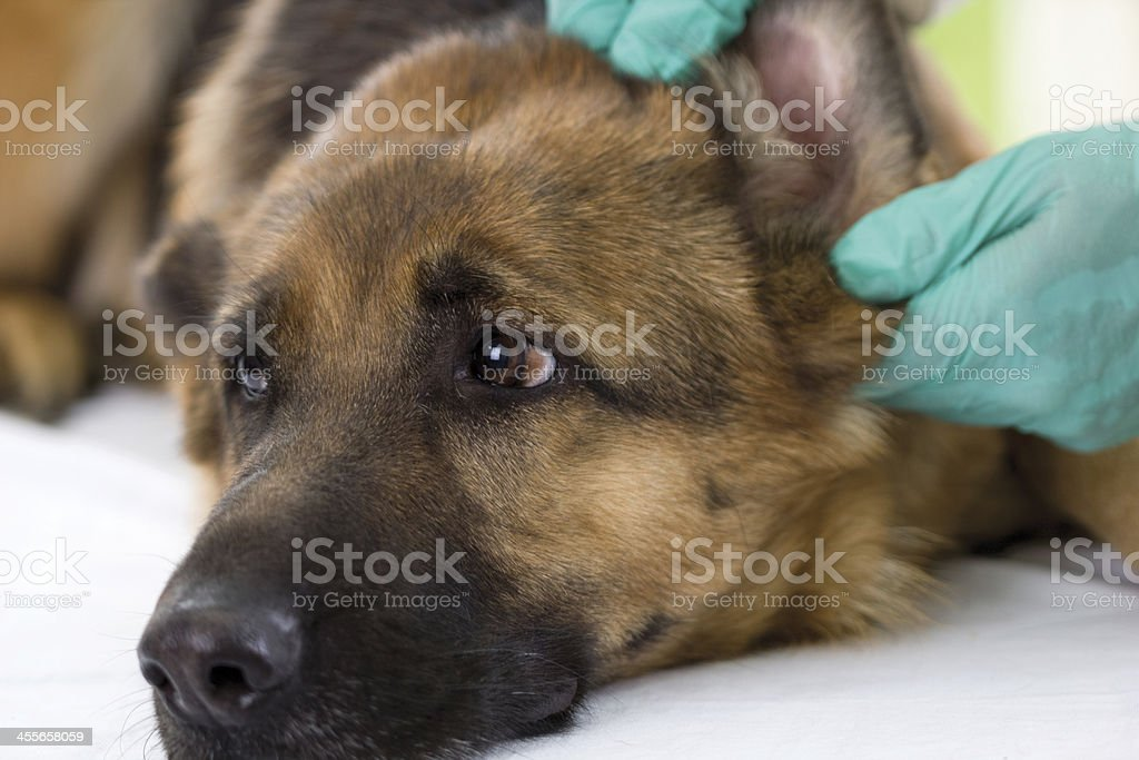 Veterinarian looking ear of a German shepherd dog,close up royalty-free stock photo