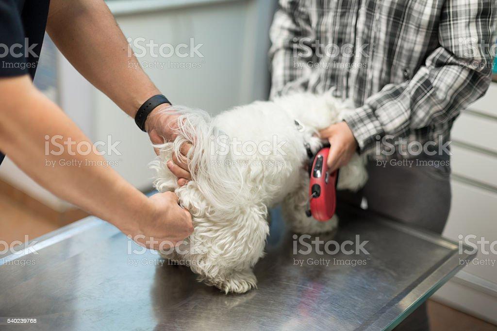 Veterinarian measuring dogs temperature stock photo
