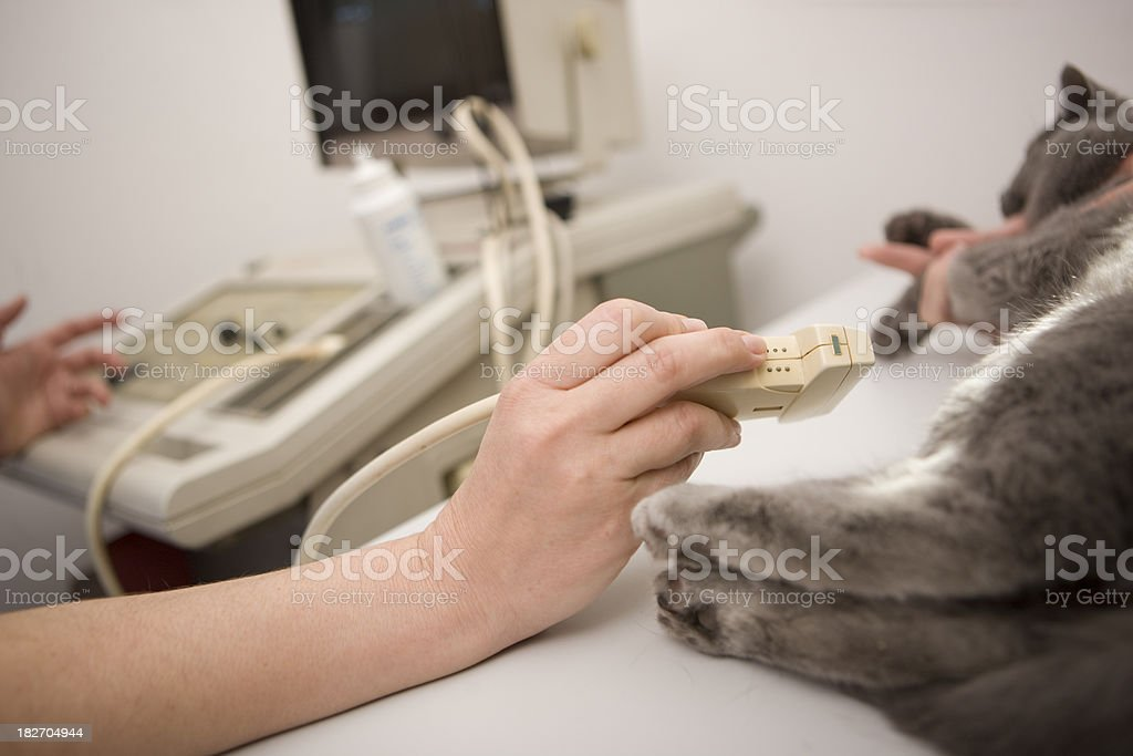 Veterinarian using ultrasound royalty-free stock photo
