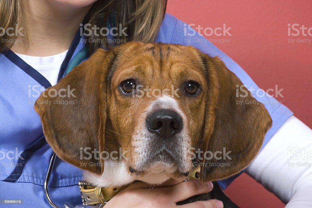 Veterinarian With a Beagle stock photo