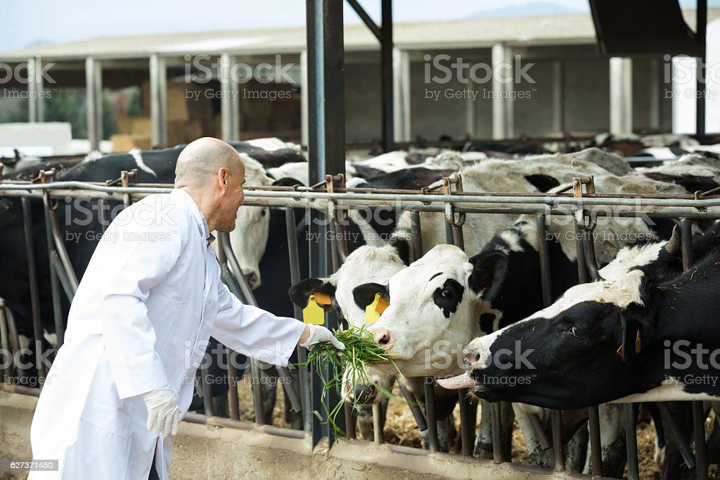 Veterinarian with cows in livestock farm stock photo