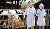 Veterinarians happily standing close to cows on the farm