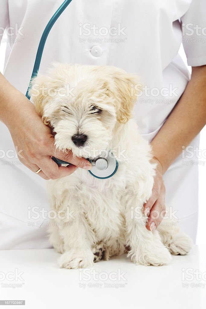 Veterinary care concept - small fluffy dog at checkup royalty-free stock photo