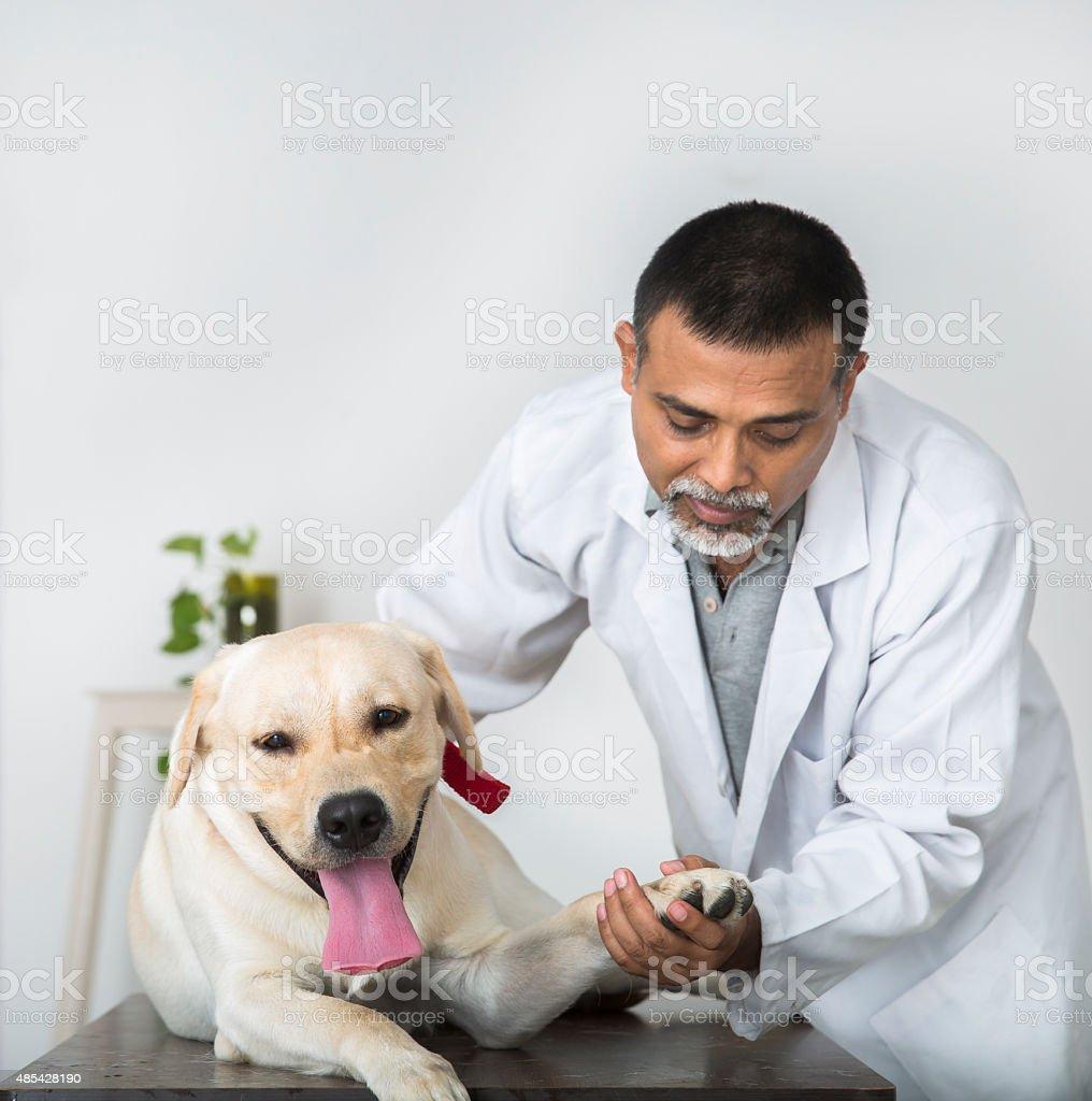 Veterinary Doctor Does Medical examination on a Yellow Labrador Retriever stock photo