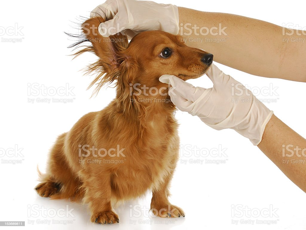 veterinary examination stock photo