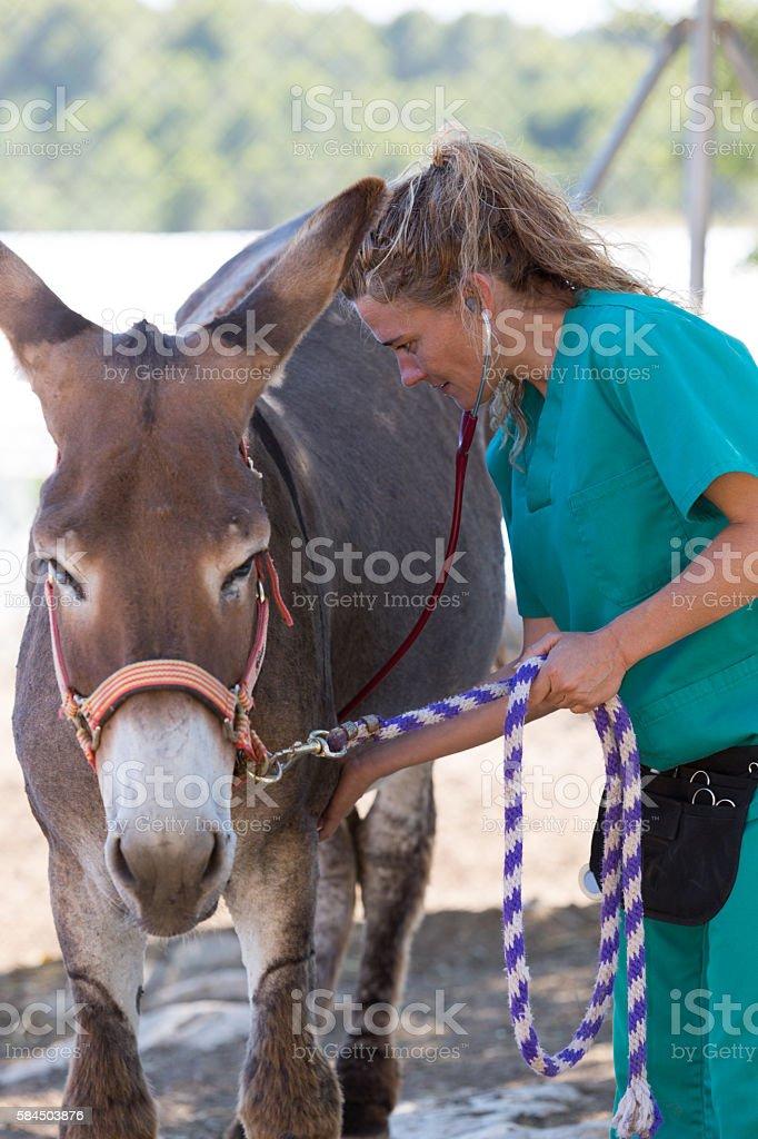 Veterinary in the farm stock photo