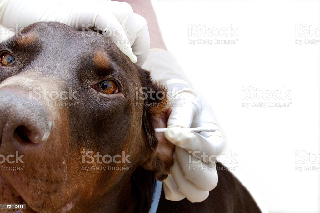 veterinary inspection ear cleaning royalty-free stock photo