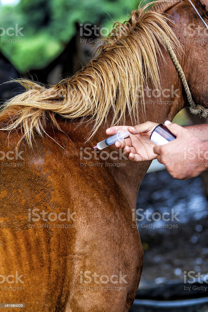 Veterinary making injektion on horse stock photo
