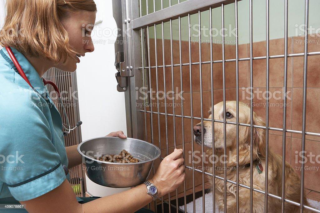 Veterinary Nurse Feeding Dog In Cage royalty-free stock photo