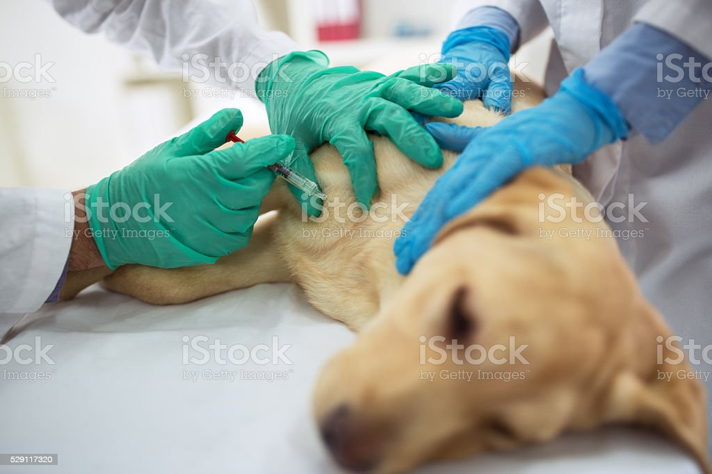 Veterinary surgeon is giving the vaccine to the dog stock photo