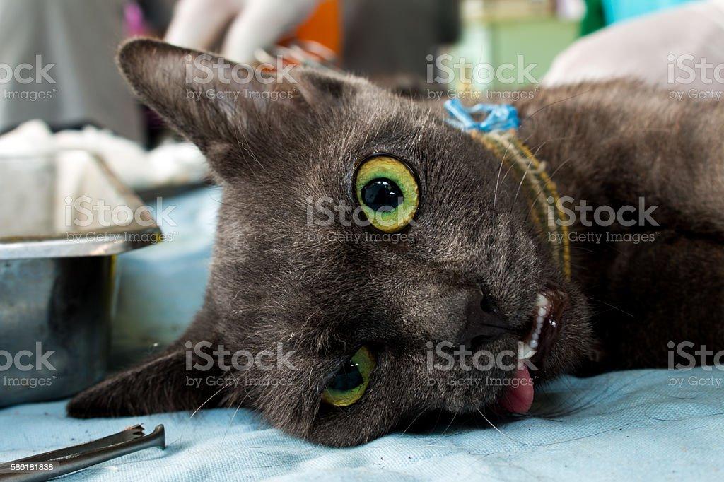 Veterinary surgeon neutering a cat stock photo