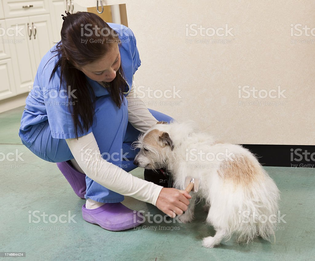 Veterinary Technician Brushes a Dog Before She Goes Home royalty-free stock photo