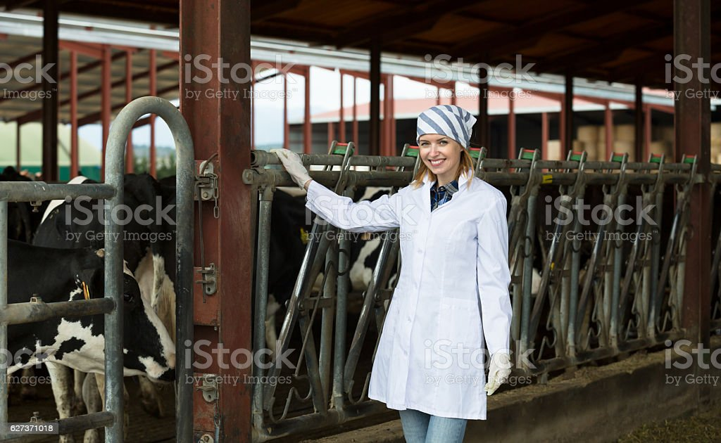 Veterinary technician with dairy cattle stock photo