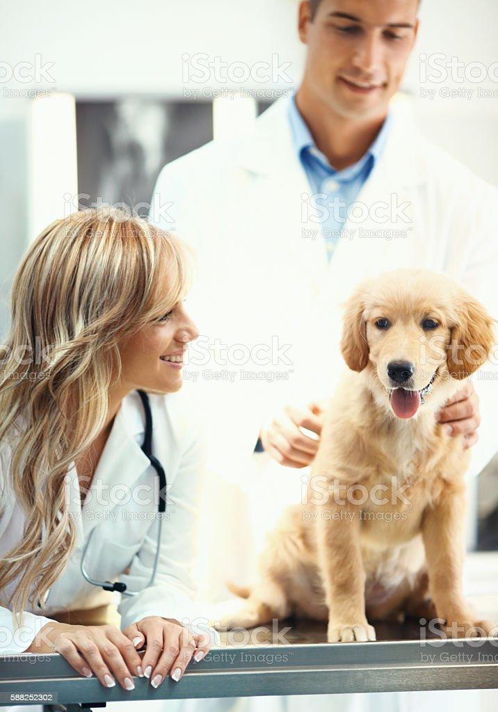 Vets examining a puppy. stock photo