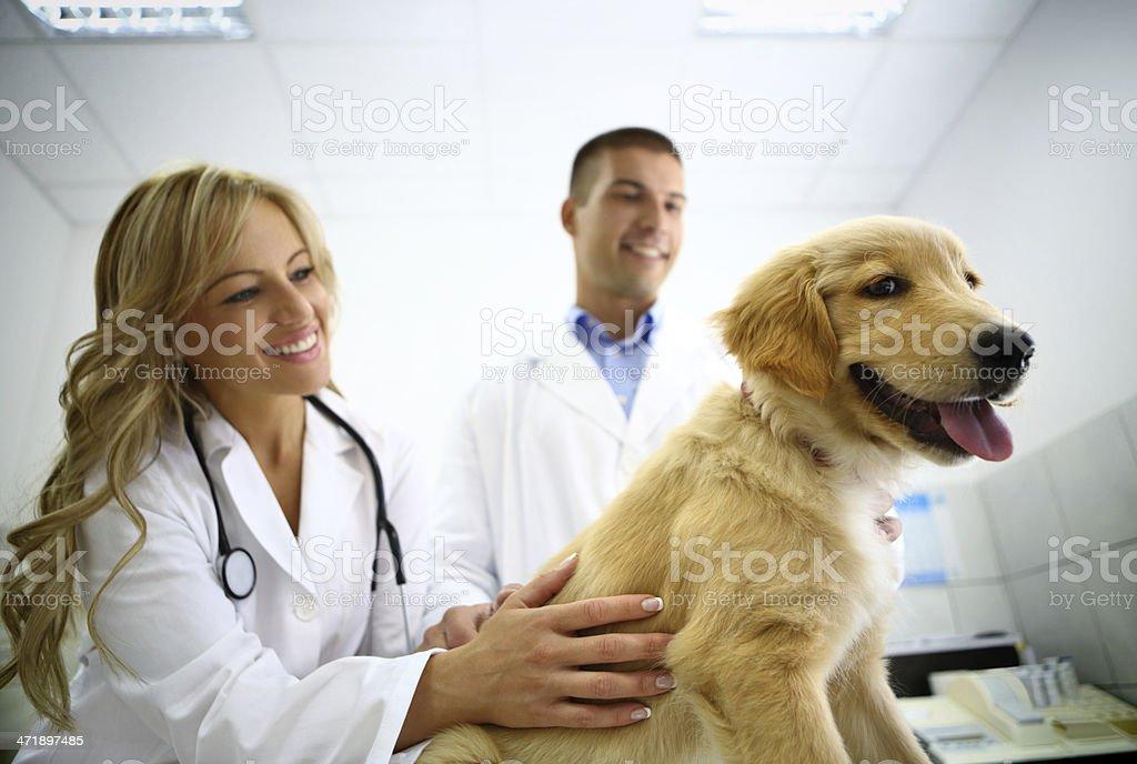 Vets examining retriever puppy royalty-free stock photo