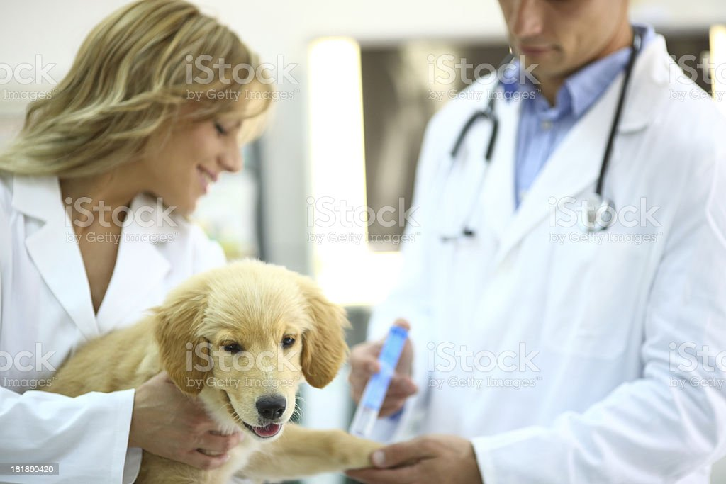 Vets giving puppy vaccine. royalty-free stock photo