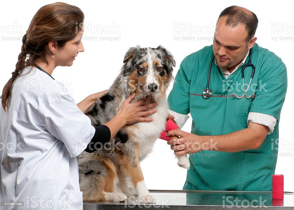 Vets wrapping a bandage around an Australian Shepherd royalty-free stock photo