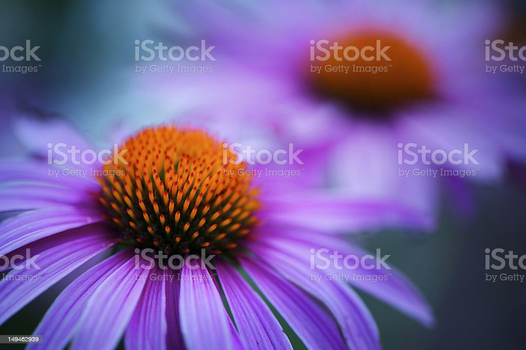 Vibrant and colorful echinacea flower stock photo