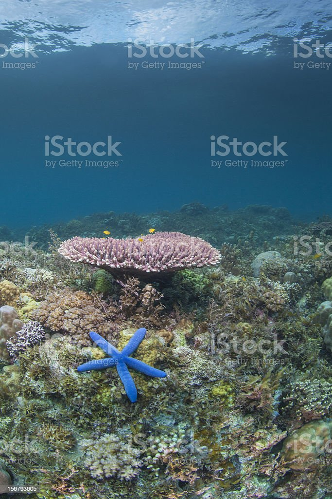 vibrant blue starfish royalty-free stock photo
