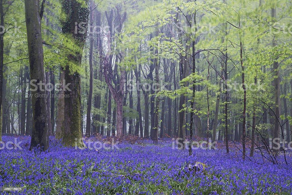Vibrant bluebell carpet Spring forest foggy landscape stock photo