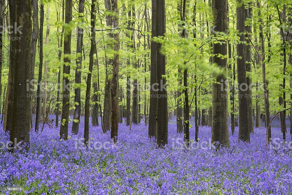 Vibrant bluebell carpet Spring forest landscape stock photo