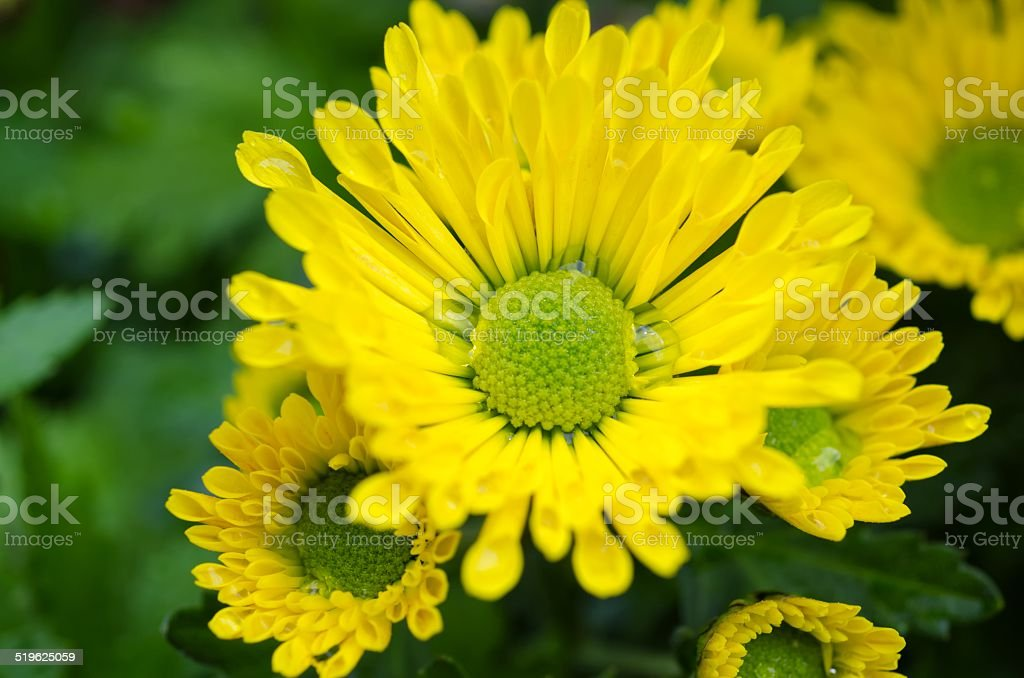 Vibrant Chrysanthemum Daisies Blomming stock photo