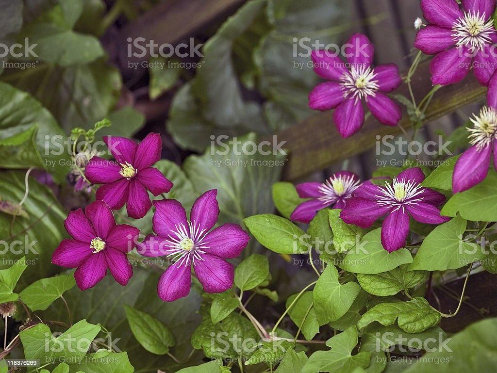 vibrant Clematis flowers stock photo