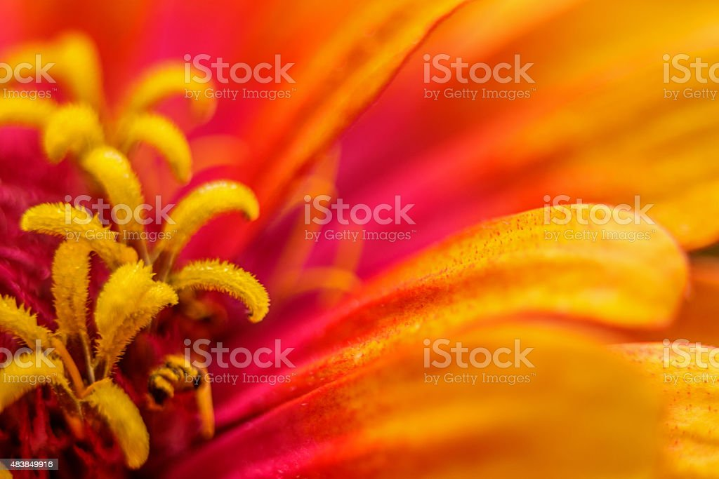 Vibrant close up of an orange and pink zinnia flower stock photo
