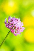 Vibrant Clover Flower on Natural Background