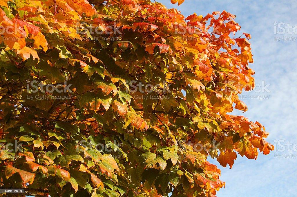 Pulsierenden farbigen Ahorn Blätter Lizenzfreies stock-foto