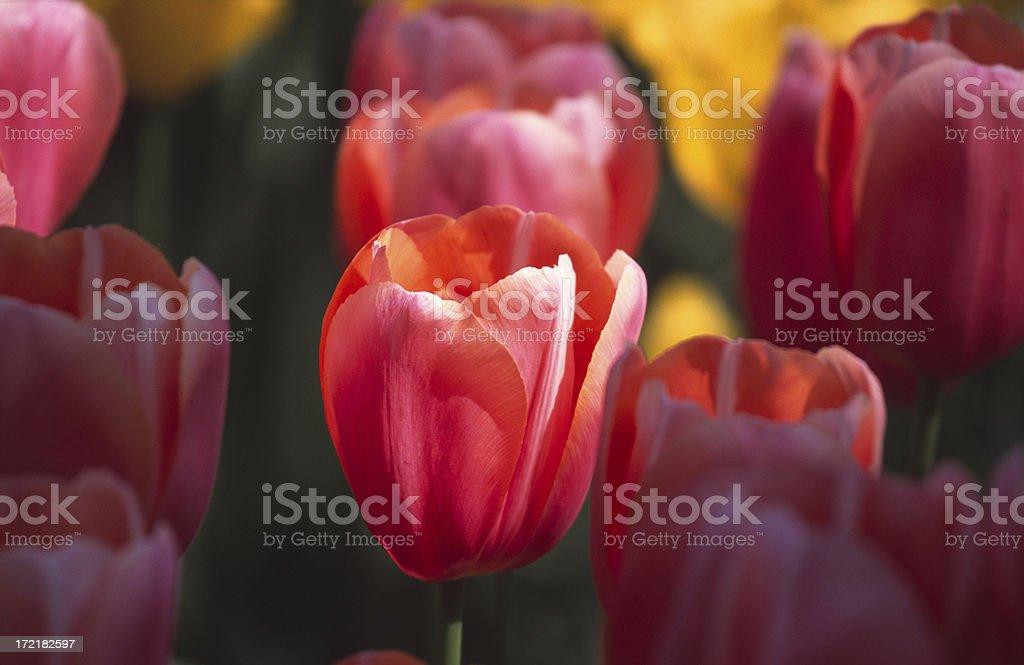 Vibrant colored tulip stock photo