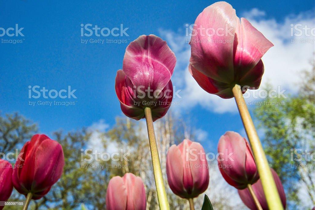 Vibrant colored tulips stock photo