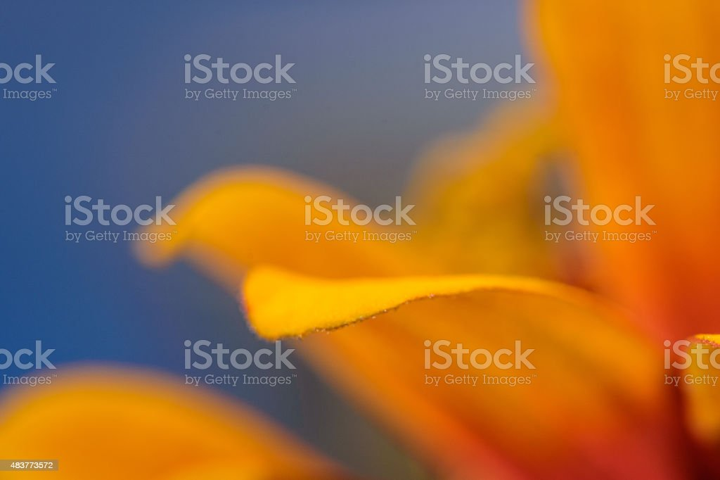 Vibrant colored zinnia flower under a blue sky stock photo