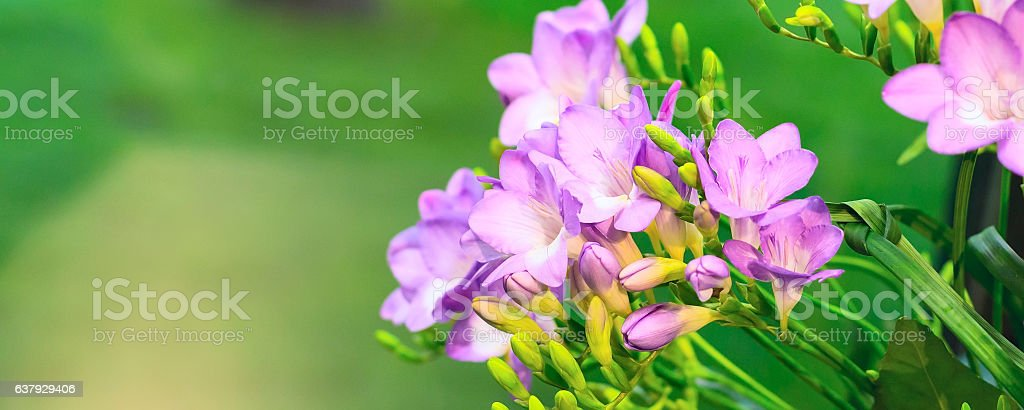 Vibrant flower bouquet of pink alstroemeria on green background stock photo