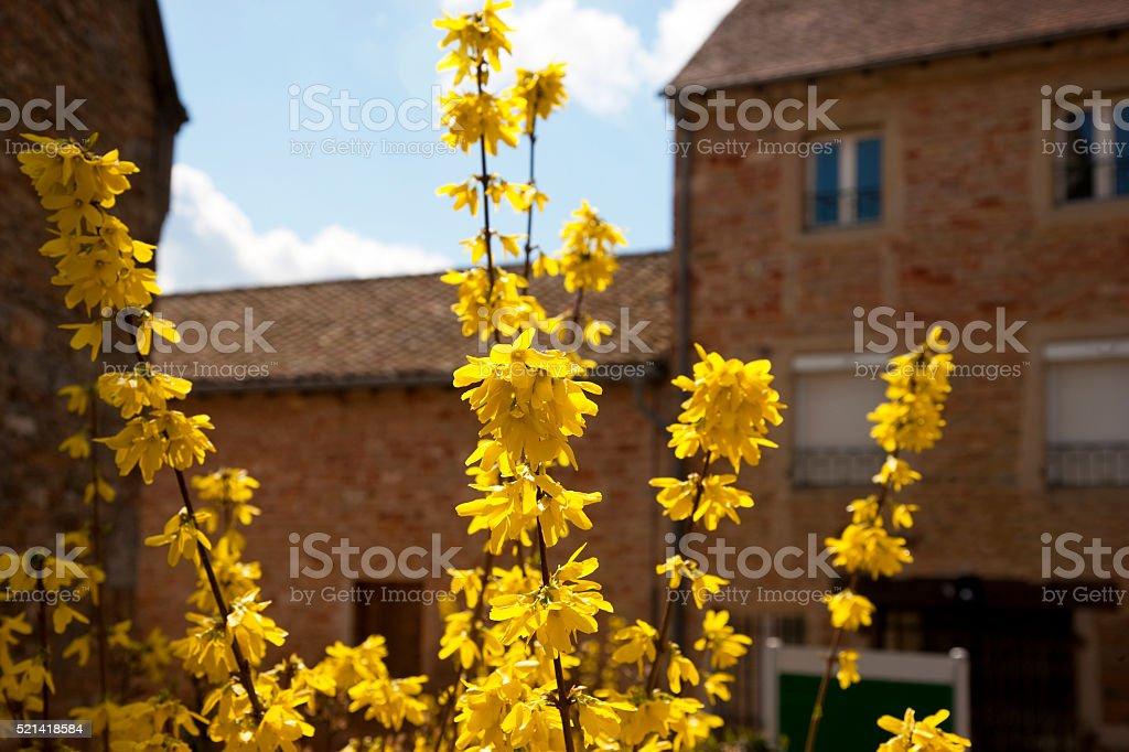 Vibrant Forsythia bush in french village in Spring stock photo