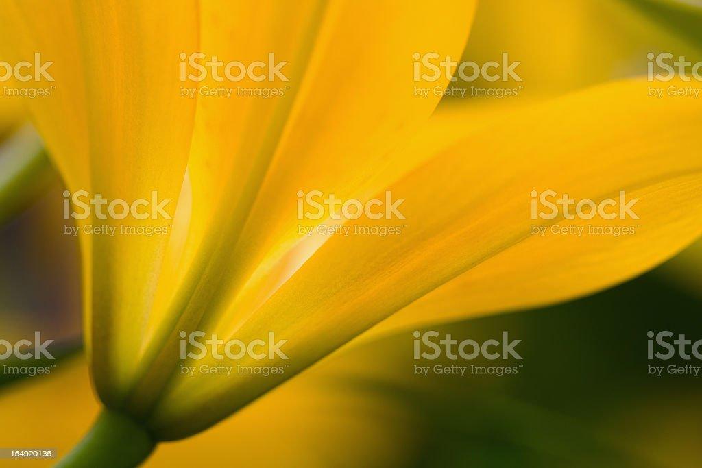 Vibrant Golden Yellow Lily stock photo