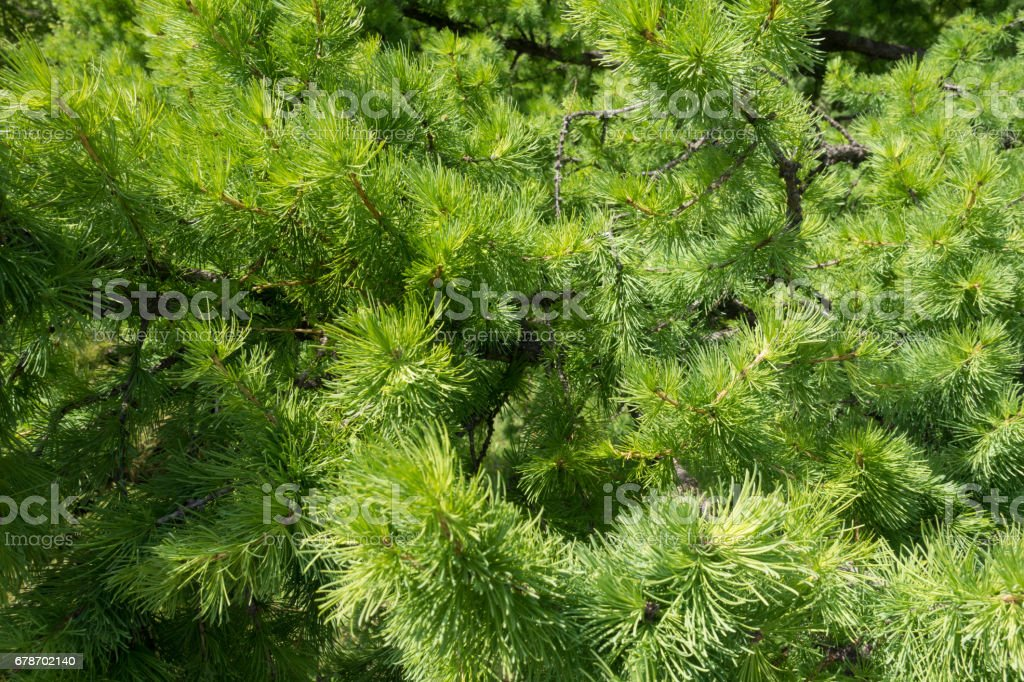 Vibrant green branches of larix in spring stock photo