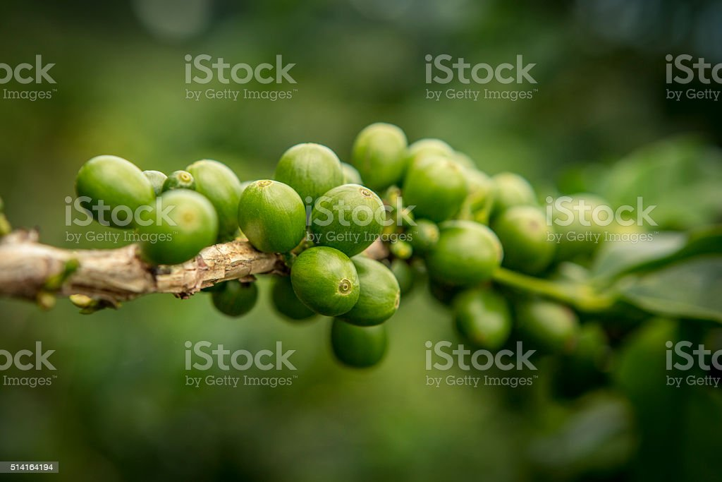 Vibrant Green Coffee Beans stock photo