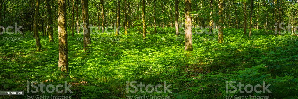 Vibrant green fern fronds in forest idyllic woodland glade panorama stock photo